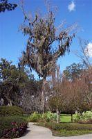 Spanish Moss in a Park in Ocala